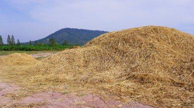 ฟางข้าว(Rice straw) และประโยชน์จากฟางข้าว