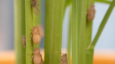 จัดการเพลี้ยกระโดดสีน้ำตาลและแมลงศัตรูข้าวอย่างไร โดยใช้นิเวศการเกษตร