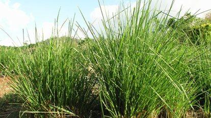 หญ้าแฝก (Chrysopogon zizanioides)