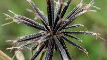 ผักคางไก่(Sagittaria sagittifolia)