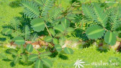ผักกระเฉด (Neptunia oleracea)