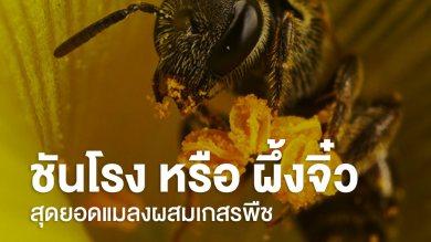 ชนโรง หรือผึ้งจิ๋ว สุดยอดแมลงผสมเกสร