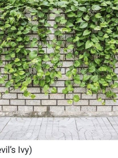 พลูด่าง (Devil's Ivy)