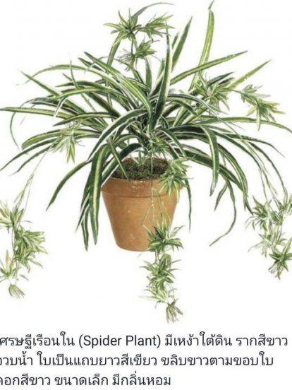 เศรษฐีเรือนใน (Spider Plant)