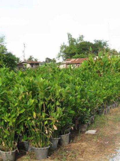 ไผ่น้ำ Bamboo water