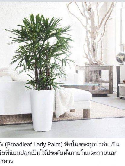 จั๋ง (Broadleaf Lady Palm)