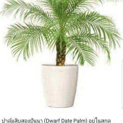 ปาล์มสิบสองปันนา (Dwarf Date Palm)