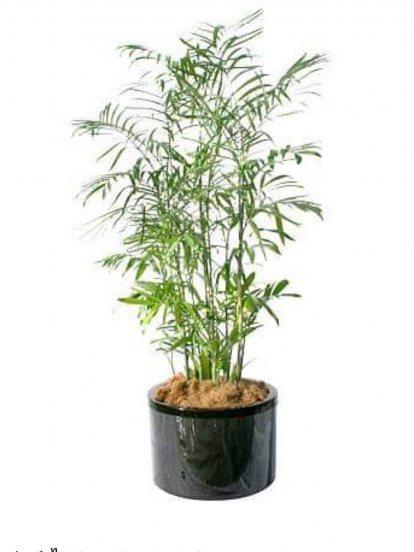 ปาล์มไผ่ (Bamboo Palm)