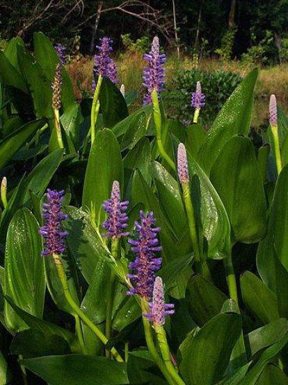 PONTEDERIA CORDATA pickerel weed