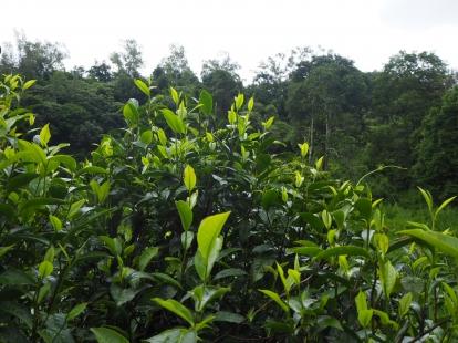 ไร่ชาป่าในฤดูฝน