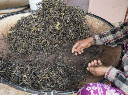 Sorting dry tea leaves before pressing tea cakes การคัดทำความสะอาดใบชาแห้งก่อนการนำไปอัดแผ่น