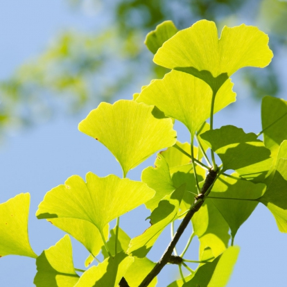 GINKO LEAF EXTRACT (24% FLAVONE GLYCOSIDES)